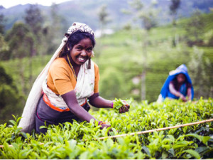 Tea-picker-in-a-tea-plantation-in-the-tea-country-of-Sri-Lanka-Asia-by-documentary-travel-photographer-Matthew-Williams-Ellis